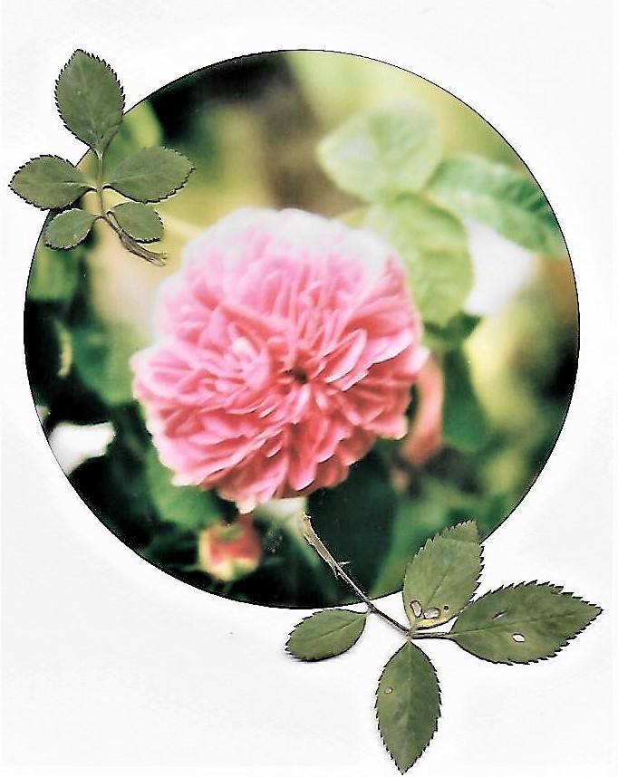 E' il tempo che hai perduto per la tua rosa che ha fatto la tua rosa così importante. Antoine de Saint Exupéry