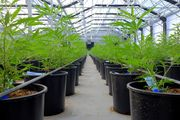 cannabis business Canada