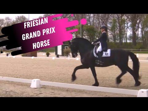 Friesian Grand Prix Dressage Horse!