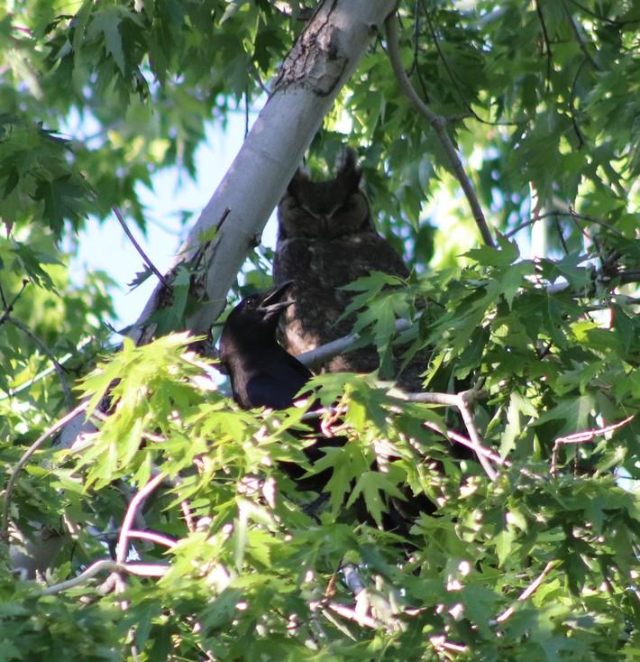 Crow Annoying an Owl