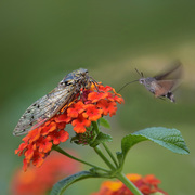 sfinge colibri e cicala su lantana