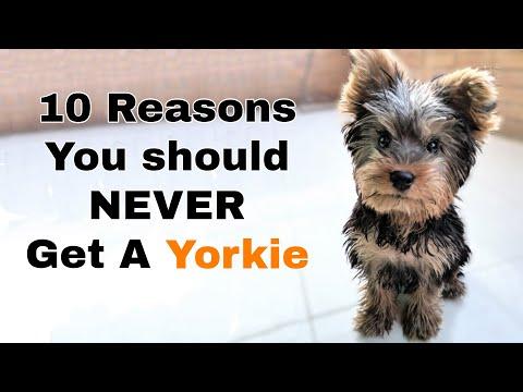 Richards Teacup Puppies for Sale - Buy teacup puppies Online