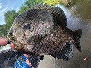 """My Top Gill Today.....Just Under 11""""....6/8/2021"""