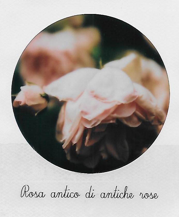 Rosa antico di antiche rose