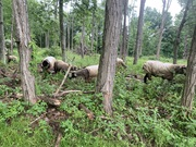Ewes and lambs in black locust stand 6/12/2021