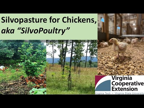 Silvopasture for Chickens (aka., SilvoPoultry)