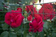 Rose in cattività