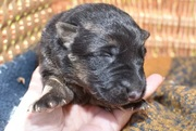 female shepherd puppy for sale