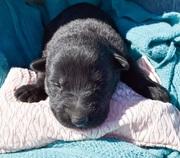 german Shepard puppy female for sale