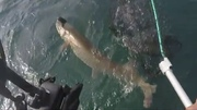 Tony netted 50 1/2 inches Muskie.