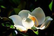 fiore di magnolia!!