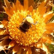 """""""l'ape con il lato """"B"""" giallo chiaro"""""""