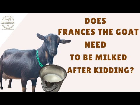 Does Frances the Goat Need to be Milked After Kidding?