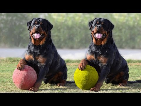 rottweiler puppies for sale near me/rottweiler puppies for sale