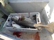 Good run of fish