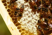 What's The Buzz: Beekeeping And Bee-Friendly Gardening