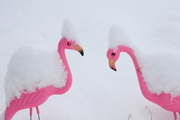 Flamingoes during snow storm