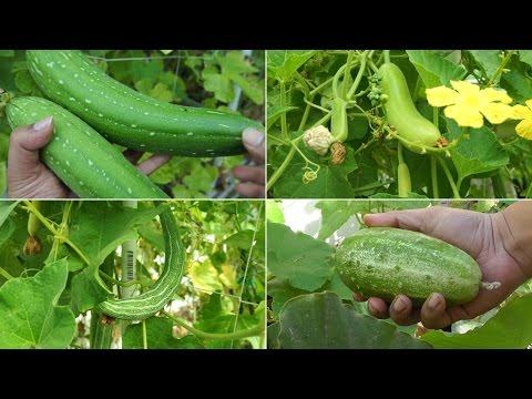 Growing Gourds Part 1 of 5 - Introduction to Gourds