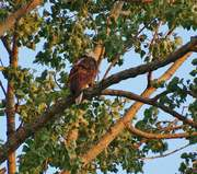 Resident Bald Eagle at Stearns Park this summer 2021.