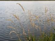 grasses at Coot Lake