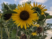 Sunflowers at Coot Lake