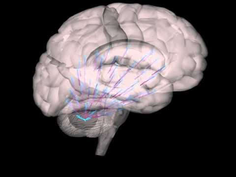 Swarm Intelligence XII: Brain