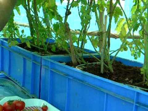 Tomato Harvest 28th march 2011.mov