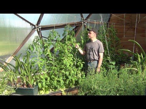 Aquaponic DWC Tomatoes - Part 2