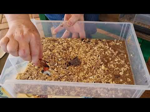 Quick discussion about meal worms: and some chores on the tiny farm