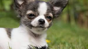 Chihuahua Puppies For Sale - Cute Teacup Chihuahua Puppies