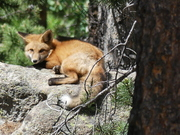 Fox sunning in our mountain hood.