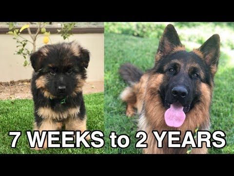 WATCH MY PUPPY GROW | GERMAN SHEPHERD