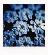 Plumbago Blu