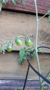 Susan's tomatoes