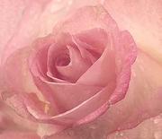 """""""rosa rosa"""""""