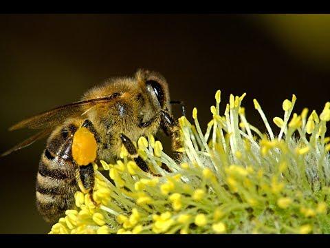 Shungite saves Bees