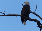 2021 09 14 Bald Eagle perched and looking to the left