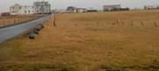 Icelandic grass