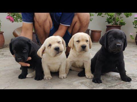Labrador puppy for sale 9053119993