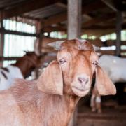 Grey Bruce Farmers' Week - Goat Day
