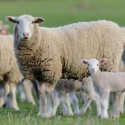 Grey Bruce Farmers' Week - Sheep Day