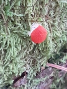 Is this a wolf's milk slime mould fruiting body?