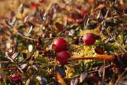 Cranberries colors