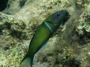 Γαϊτανούρι (Thalassoma pavo) αρσενικό