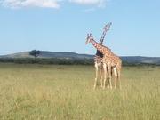 2Girrafe fights in Masai Mara