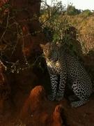 Leopard under a shade in Masai Mara