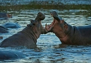 Hippoes fighting in Mara River