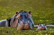 Hippo Mom And Child