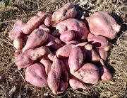 Harvesting batat