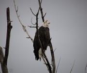 Waneka Lake Oct 2021 - Bald Eagle yawning